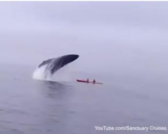 Baleia salta da água em cima de caiaque
