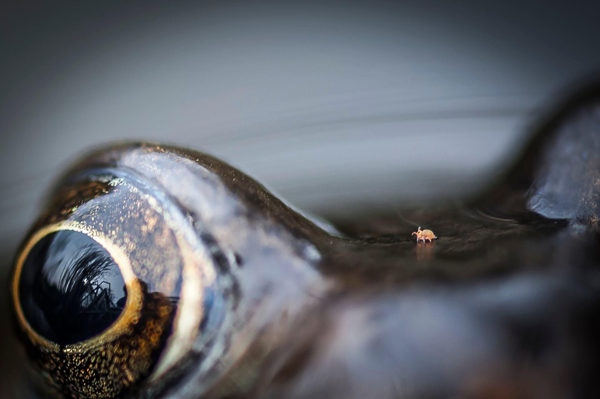 """""""Vale do ácaro andando em sapo"""", por Chris Speller - vencedor na categoria close na natureza. Fotografia feita em Bristol, na Inglaterra"""