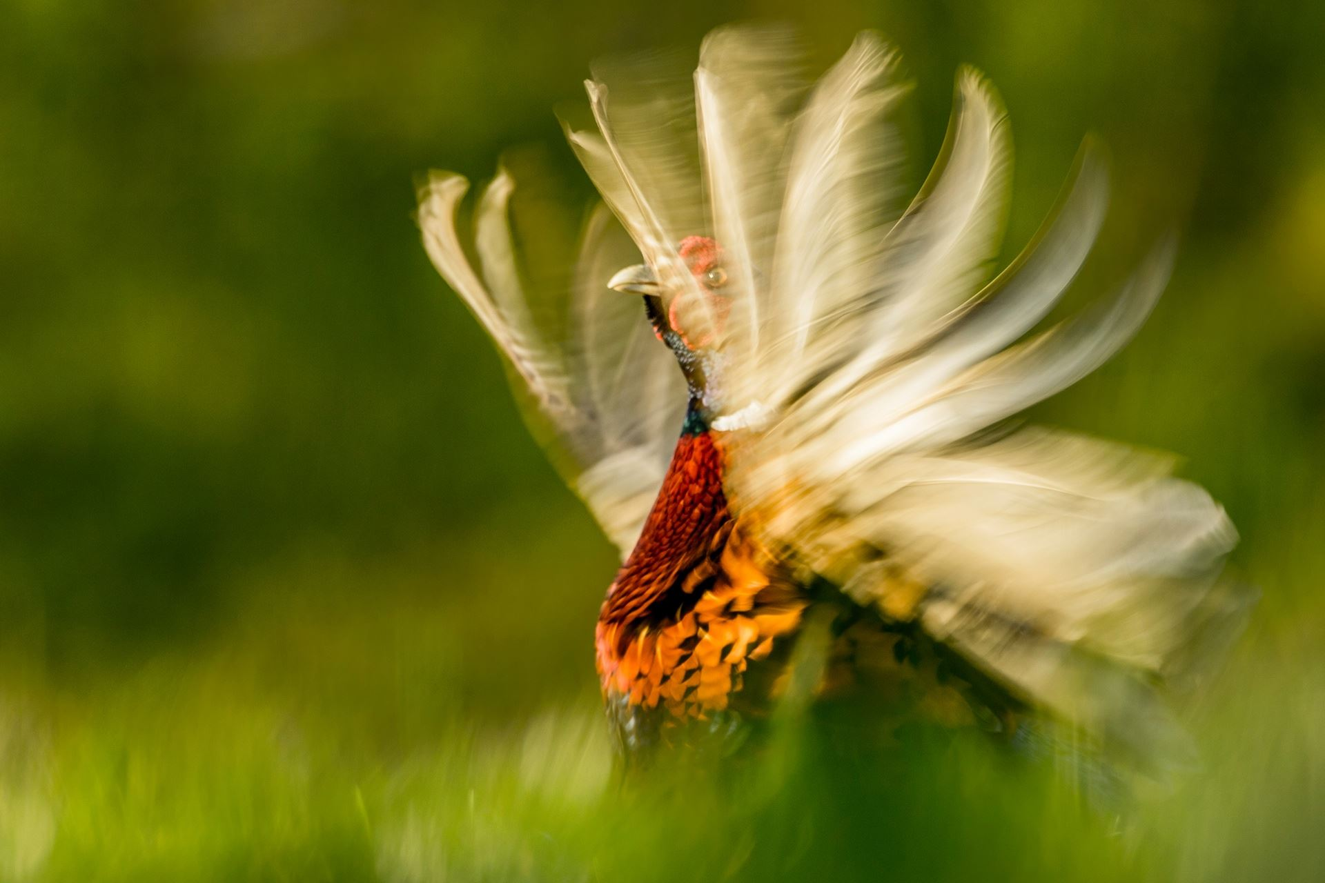 """""""Exibição do faisão"""", por Kris Worsley - vencedor na categoria comportamento animal. Fotografia realizada em Nottinghamshire, Inglaterra"""