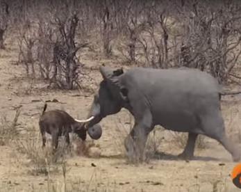 Vídeo flagra momento raro de elefante atacando búfalo (cenas fortes)