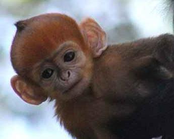Raro macaco laranja nasce em zoológico de Sydney, na Austrália