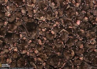 """""""Morcego de Peluche Oriental"""", por Kei Nomiyama"""