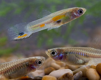 Mosquitos de zika e dengue viram comida de peixe no interior de Pernambuco