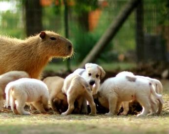 Cheesecake, a capivara, vira mãe adotiva de cães abandonados