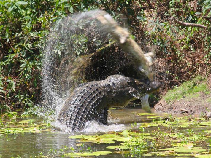 crocodilo Foto: Reprodução/Facebook/Queensland National Parks