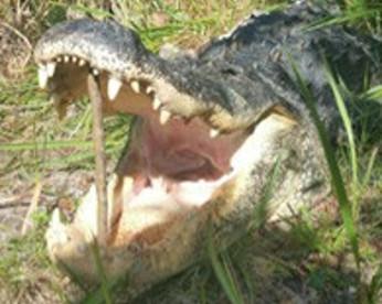 Suspeito de roubo se esconde em lago e é devorado por jacaré de 3,5 metros