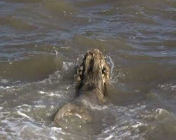 Leão pula no mar da Índia e assusta moradores