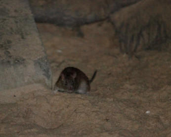 Recife dos ratos: 2 em cada 5 casas checadas estão infestadas