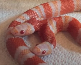 Vídeo mostra incrível cobra albina de duas cabeças
