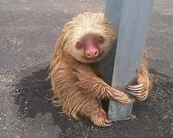 Bicho-preguiça resgatado em rodovia cativa internautas