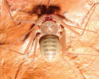 8 novas espécies de aranhas-chicote são descobertas na Floresta Amazônica