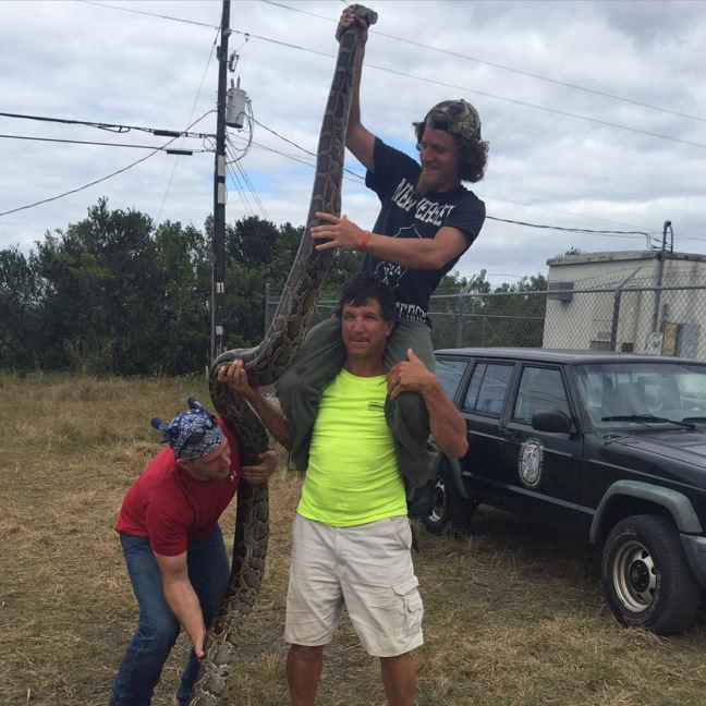 Com as mãos e munidos de fronhas, caçadores capturam 106 pítons, na Flórida