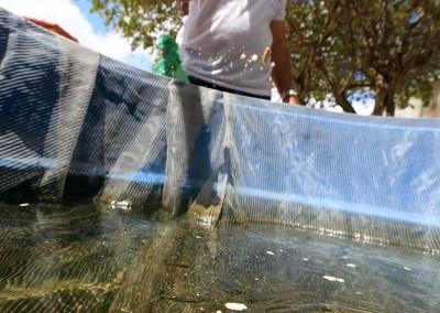 Peixes têm sido usados para evitar a eclosão da larva