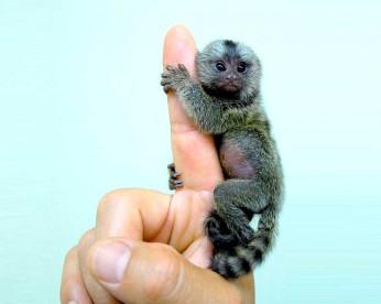 Macacos de até 30 cm são vendidos e utilizados como acessórios