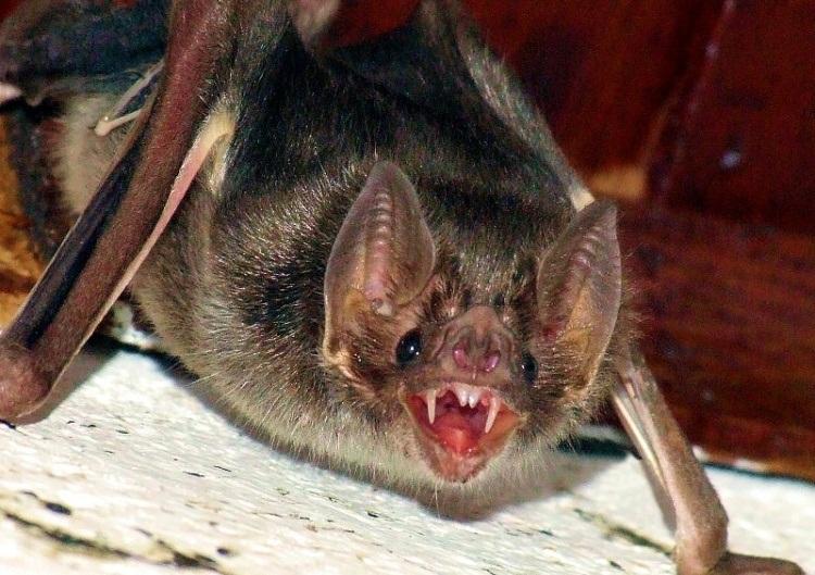 Ataques de Morcegos Vampiros matam 12 crianças no Peru