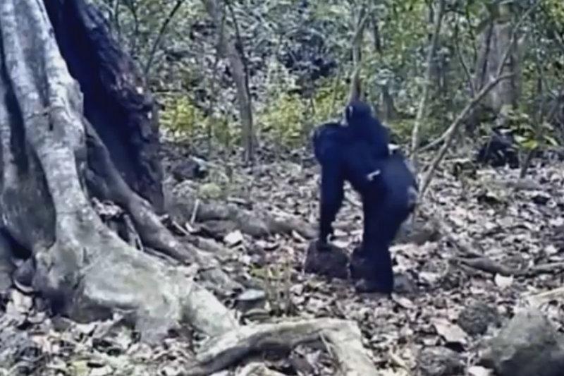 Pesquisadores estudam se chimpanzés creem em Deus