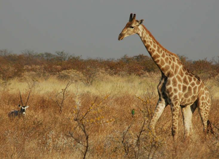Girafa entra na lista de animais em extinção