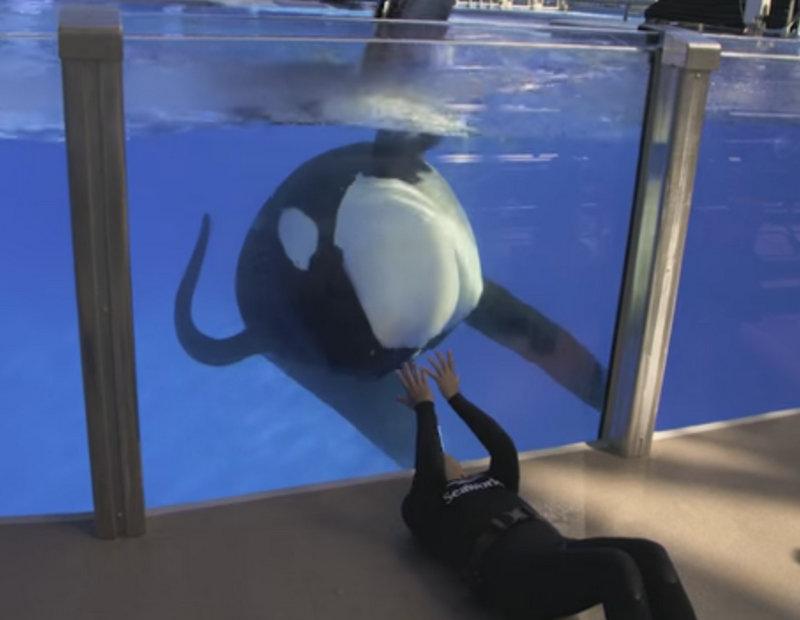 """Baleia assassina que inspirou o filme """"Blackfish"""" está doente"""