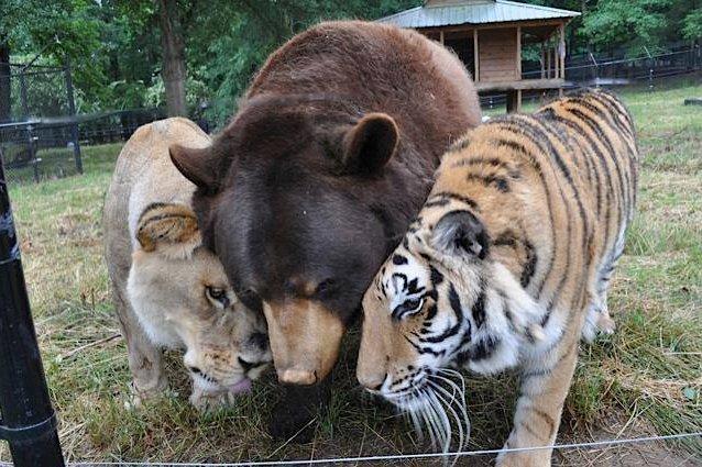 Urso, leão e tigre são melhores amigos nos EUA