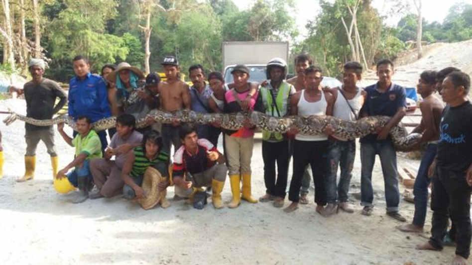 Cobra píton de 8 metros pode ser a maior já capturada