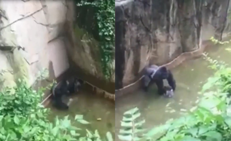 Garoto cai em jaula e gorila é morto a tiros no resgate, em zoológico dos EUA