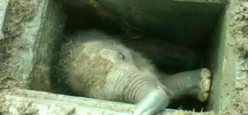 Elefante bebê é resgatado após cair em fossa