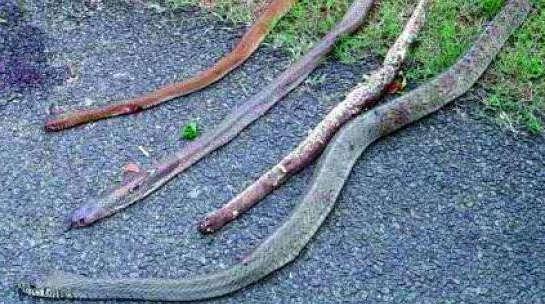 Cão morre defendendo família de quatro cobras