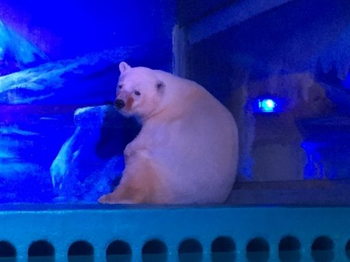 """Urso polar mais triste do mundo"", deixa jaula onde vivia dentro de shopping"