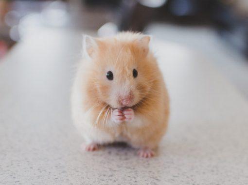Homem aciona polícia após ex alimentar hamster em excesso