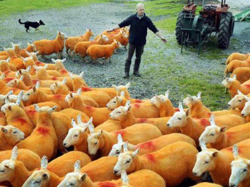Fazendeiro pinta ovelhas de laranja para evitar ladrões