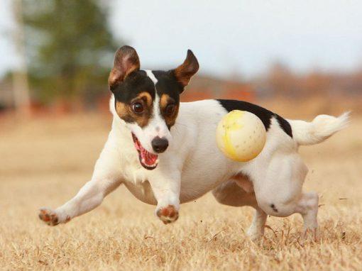 Pílula é capaz de prolongar tempo de vida de cães