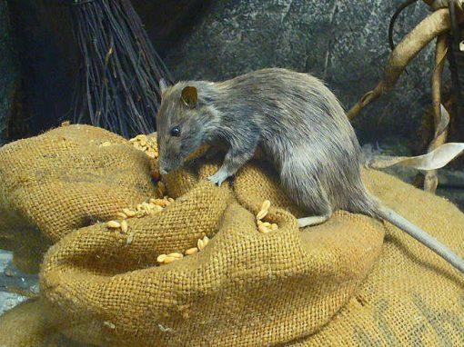 Autoridades trocam ratos por dinheiro na Indonésia