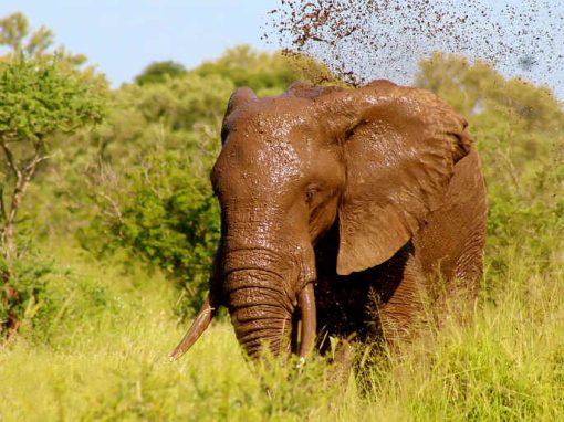 Elefante selvagem mata turista em safári no Nepal
