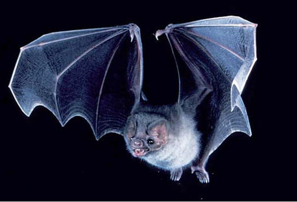 Merlin D. Tuttle/Bat Conservation International