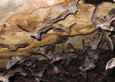 Morcegos se alimentam de sangue humano em Buíque