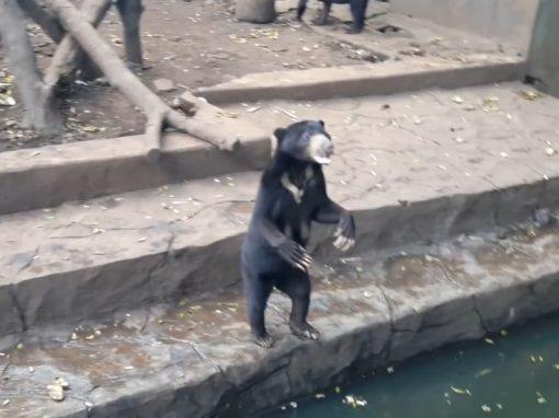 Ursos famintos imploram por comida em zoológico