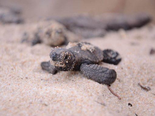 O caminho traçado pelas tartarugas pernambucanas