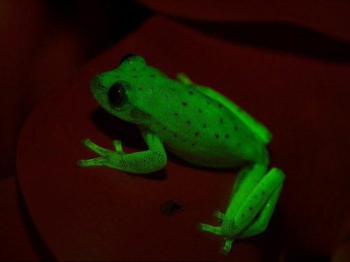 Rã fluorescente inédita é encontrada na Argentina