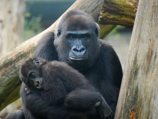 Vacina contra ebola promete futuro melhor para chimpanzés e gorilas