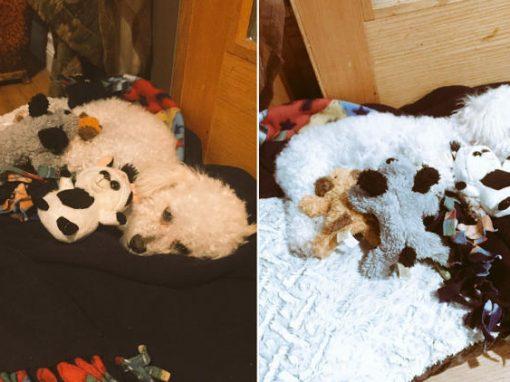 Cadelinha perde três filhotes e se consola com bichos de pelúcia