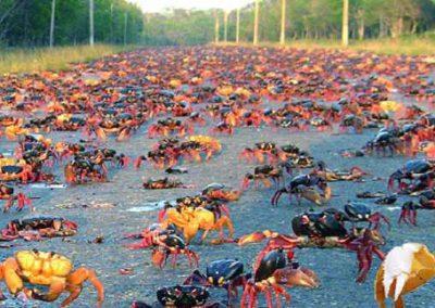Baía dos Porcos, em Cuba, é invadida por milhares de caranguejos