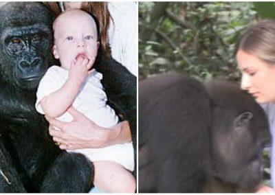 Mulher reencontra gorilas com quem brincava há 25 anos