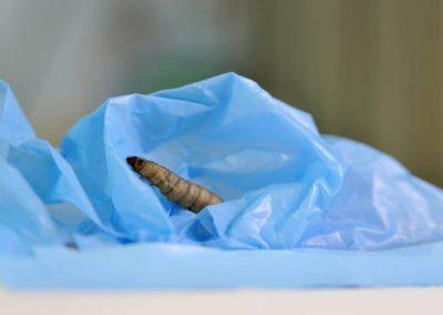 Lagartas são resposta para biodegradar materiais de plástico