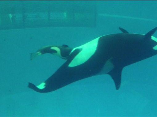 Vídeo mostra último nascimento de bebê orca em cativeiro