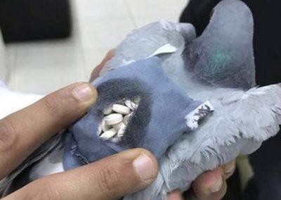 Polícia captura pombo que levava drogas em mochila
