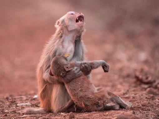 """Imagem mostra macaca """"chorando"""" ao socorrer filhote"""