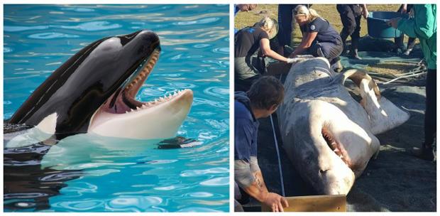 Orcas estão começando a caçar grandes tubarões brancos