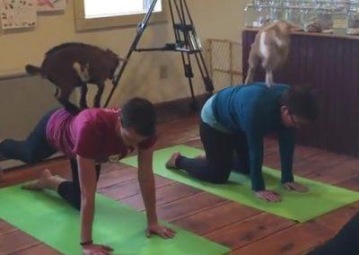 Yoga com cabras está virando mania nos Estados Unidos