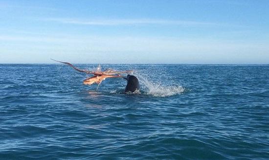 Vídeo mostra embate marinho entre foca e polvo