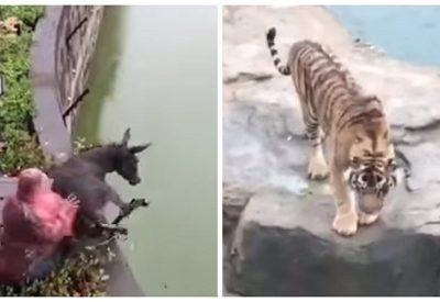 Burro é jogado vivo em jaula de tigres e ato causa revolta